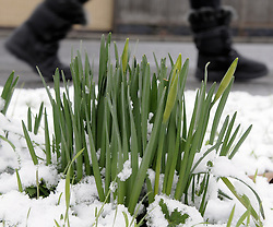 © Licensed to London News Pictures. 10/02/2012. Daffodils starting to Bloom in the snow in Orpington in Kent on February 10th, 2012. Photo credit : Grant Falvey/LNP