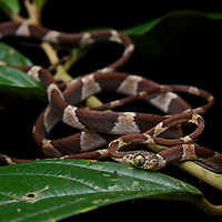 Blunthead Tree Snake (Imantodes cenchoa), a lizard hunting specialist that due to its extremely slender body is able to seek out sleeping lizards on even the most delicate of branches. Yasuní National Park, Ecuador.