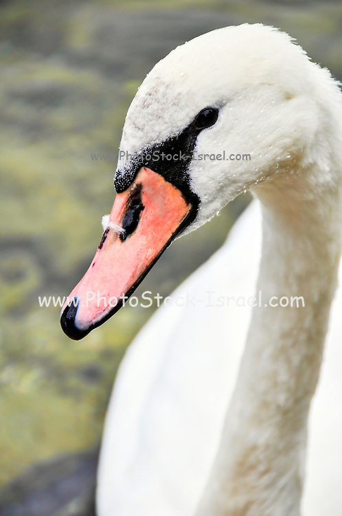 White swan close up Photographed in Hallstatt, Austria