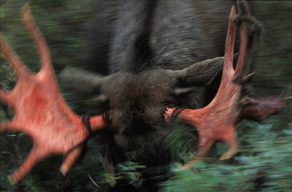 European Elk / Moose, Alces alces, Sarek National Park, Lapland, Sweden