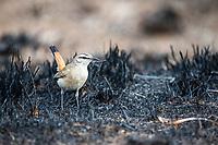 Kalahari Scrub Robin, Pilanesberg National Park, North West, South Africa