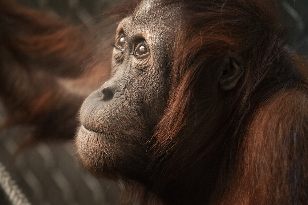 Sumatran Orangutans are extremely endangered because of human use of their environment for development. This female orangutan is housed at Chester Zoo and is part of the European Endangered Species Breeding Programme, which focuses on breeding orangutans in captivity to help save them in the wild.