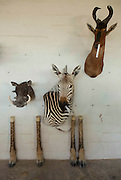 legal Taxidermy In Namibian<br /> <br /> If you who want to take your self-shot elephant, leopard or giraffe as a trophy  home, you can visit the white Namibian Louw Mel, just outside Windhoek. He and his 45 professional support staff  will stuff your elephant for around EUR 38,000. But not only an elephant, also a giraffe (8500 euros), leopard (1800 euros), rhino (14,000 euros) or alligator (328 euro/per meter) Louw and his men transforms in a true work of art. At the door of Louw's office hangs a price list on which the 35 most popular species are listed. Taxidermy is legal in Namibia and very popular among hunters. In his workshop, hundreds of stuffed animals waiting to be shipped to the hunters who have shot them. The hunters are mostly white foreigners. Every week dozens of hunters, mainly wealthy Germans and Americans dressed in khaki safari outfit visit one of the many private nature reserves owned by white farmers for big game hunting. An average private property is as large as 5000 ha, where many wild animals live. A hunter must obtain permission (cost: 10 euros) from the Namibian Nature conservation and there is an official quota for the number of animals per species that can be killed. &quot;But in practice, things are not so strict' a Namibian hunting guide tells me. &quot;If you have enough money and you pay the owner of the private nature park, you can usually shoot what you want. So apart from the costs of stuffing the animal, the hunter must also pay the landowner for allowing to shoot  wildlife. For permission to kill an elephant is around 20,000 euros, for an leopard 7000 euros, a lion 15.000 euros and an antilope 1500 euros. So, in order to get that self-shot elephant in your living room in Berlin, it will cost you around 60,000 euros (38,000 euros for stuffing, 20,000 euros for shooting and 2000 euros for transport to germany). Once a hunter has killed an animal, he brings it to a taxidermist such as Louw for the animal to mount. Louw stuffs arount 6000 animals each y