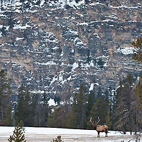 bull elk with larg mountain background winter habitat