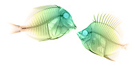 X-ray image of a fish encounter (green on white) by Jim Wehtje, specialist in x-ray art and design images.