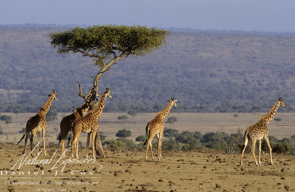 Giraffe (Giraffa camelopardalis) herd on the Serengeti Plains. Masai Mara National Reserve, Kenya, Africa