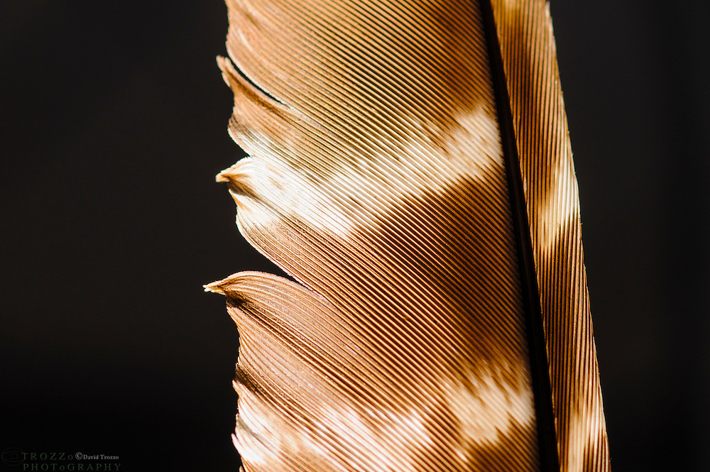 Close up detail of bird feather on black background