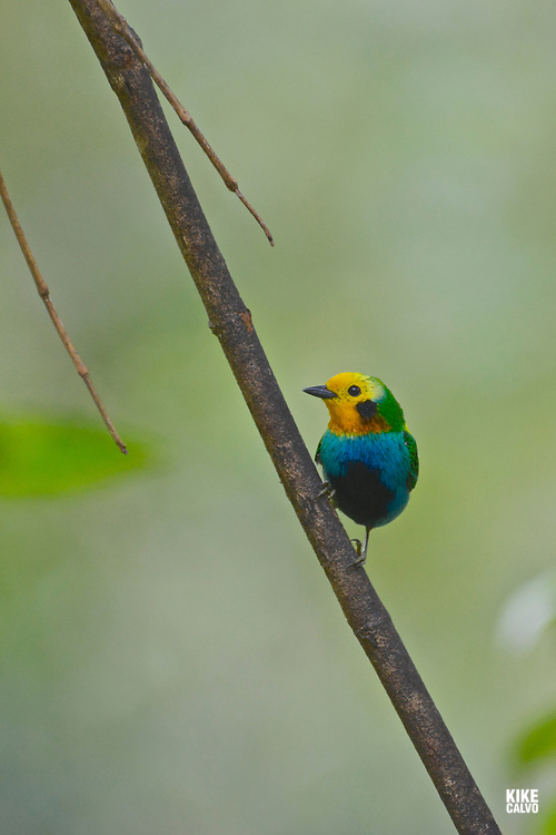 Multicoloured Tanager ( Chlorochrysa nitidissima) , Western and Central Andean Endemic, Cauca Valley