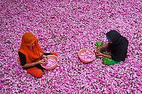 Inde, Uttar Pradesh, la ville des parfums où sont distillé les roses pour l'industrie du parfum, triage des roses // India, Uttar Pradesh, the city of perfumes where roses are distilled for the perfume industry, sorting the roses