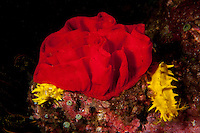 Spanish Dancer Nudibranch egg ribbon...Shot in Indonesia