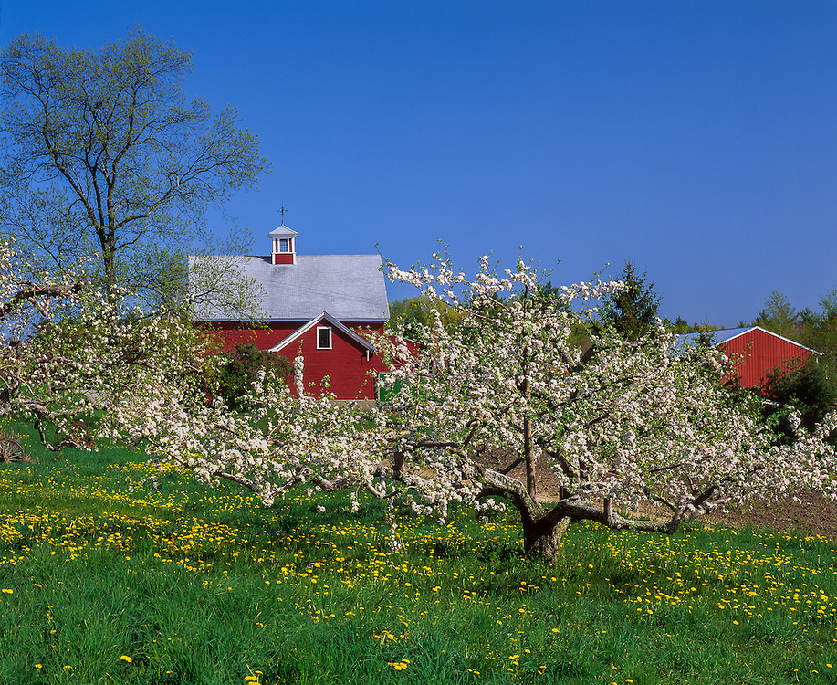 Apple orchard in bloom in spring, with dandelions & two red barns, Londonderry, NH