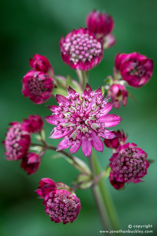 Astrantia check id. Possibly 'Washfield' - see Josie's reference shots