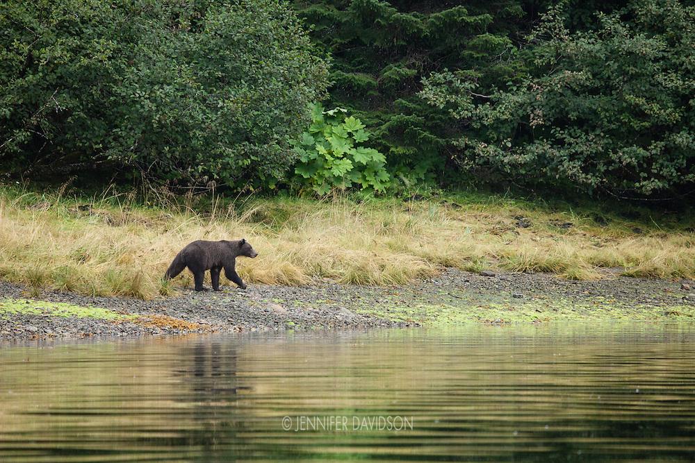 A coastal brown bear walks along the shore at Pavlof Harbor, Alaska.