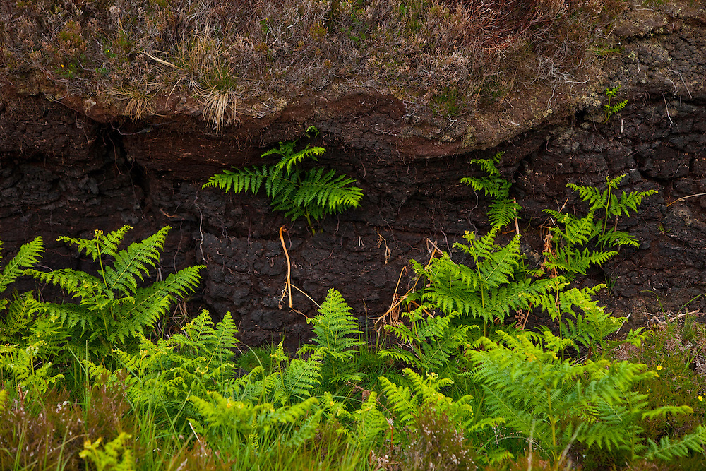 Turbera y helechos. Peat and ferns. Abhainn Ghearadha. Northeast Lewis Island. Outer Hebrides. Scotland, UK