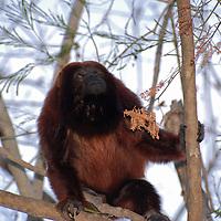 Mono Araguato. El Hato Piñero, ubicado en los llanos centrales de Venezuela, Estado Cojedes; constituye un desarrollo que se caracteriza por el turismo ecológico, donde los visitantes pueden disfrutar de la diversidad de la fauna, las actividades ganaderas y agroindustriales. El Hato Piñero es un retiro para los amantes de la naturaleza, observadores de aves o los viajeros que simplemente buscan paz y tranquilidad. Estado Cojedes. Venezuela. Howler monkey. El Hato Piñero, located in the central plains of Venezuela, Cojedes State; It is a development characterized by ecological tourism, where visitors can enjoy the diversity of fauna, livestock and agroindustrial activities. El Hato Piñero is a retreat for nature lovers, birdwatchers or travelers who simply seek peace and tranquility. Cojedes State. Venezuela.