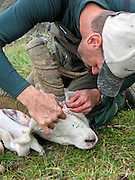 Caping a Dall Sheep Ram in the Chugach Mountains of Alaska