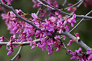 Flowering Judas Tree Cercis siliquastrum Photographed in Israel in February