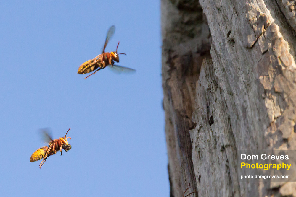 Hornet workers (Vespa crabro) returning to the nest with provisions. Surrey, UK.