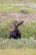 A mature Shiras Moose bull in riparian habitat