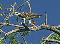 Osprey with it's catch getting ready to eat it. Taken from boat while fishing , Long Pond, ME