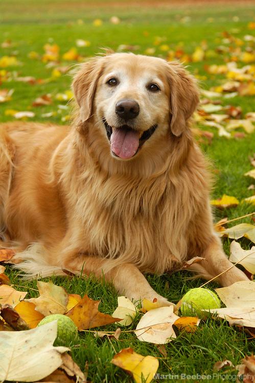 A golden retriever lies amid autumn leaves
