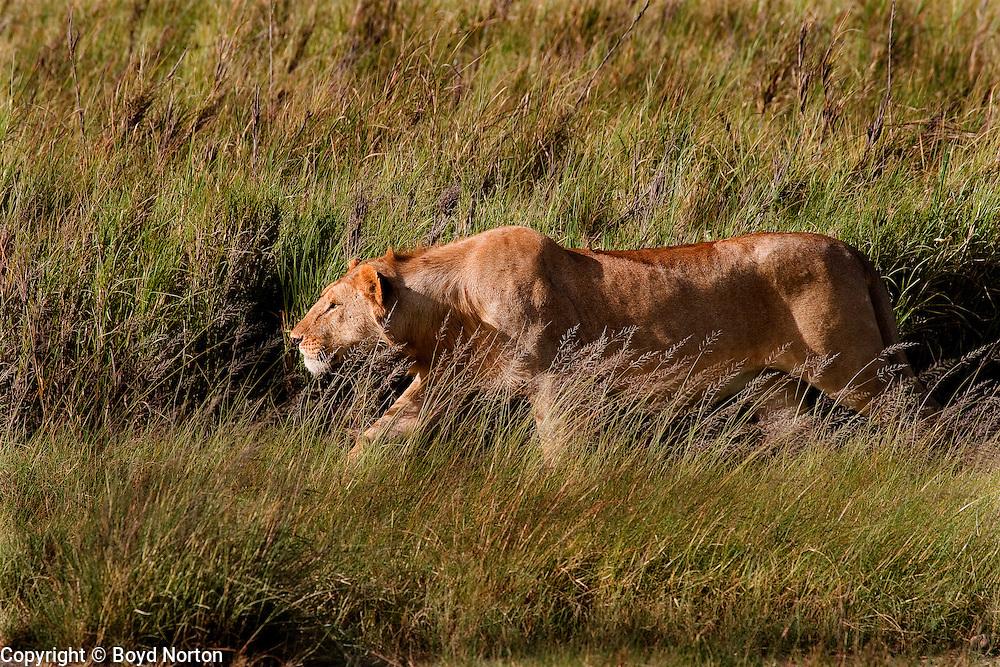 Lioness stalking prey, Serengeti National Park, Tanzania
