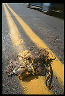Yellow road stripe painted over roadkill (possum).