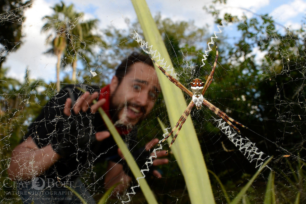 Silver Argiope (Argiope argenta)and frightened onlooker, Miami, Florida, USA