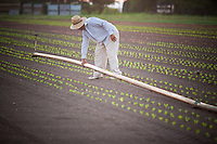 a farm worker carries an irrigation pipe through the lettuce fields at an organic farm in St Paul, Oregon,