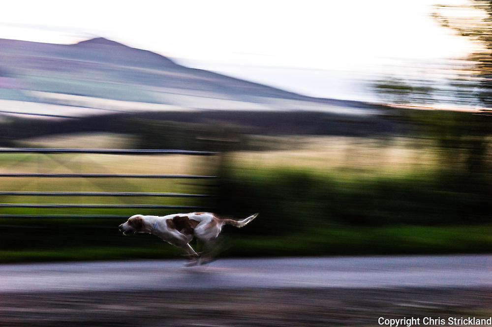 Abbotrule, Bonchester Bridge, Hawick, Scotland, UK. 7th August 2015. Foxhounds of the Jedforest Hunt race towards their huntsmans horn.