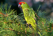 350102-1042B  ~ Copyright:  George H.H.Huey ~ Thick billed parrot [Rhynchopsitta pachyrhyncha] in native habitat in Chiricahua pine tree. Chiricahua Mountains. Arizona. These parrots are now found only in Mexico in the wild in the state of Chihuahua,  in the Sierra Madre Occidental.