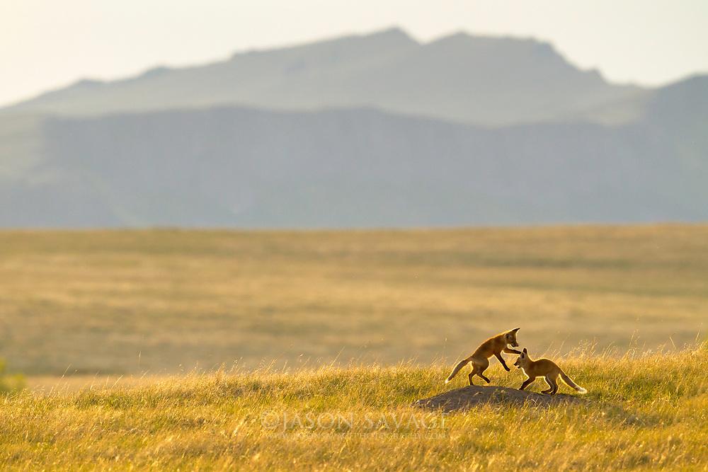 Red Fox Kits near the Rocky Mountain Front, Montana.