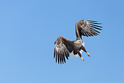 descending, White-tailed Eagle