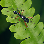 Neocollyris bonelli Tiger beetle in Kaeng Krachan National Park, Thailand.