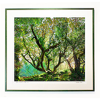 FRAMED LIMITED EDITION only &quot;Magic Woodlands, Co. Kerry,&quot;  Edition 2/79 <br /> <br /> LIMITED EDITION: <br /> Gicl&eacute;e Print 33.1 x 29,9 inch / 84 cm x 76 cm plus 1,5inch white boarder, numbered (5/79),titled and hand signed by Madeleine Weber. <br /> <br /> FRAME SIZE: dark green wooden frame, 41,7 x 39 inch or 106cm x 99cm. MOUNT white, accid-free mount board with logo embossed. <br /> SEE DETAILS HERE<br /> http://madeleineweber.photoshelter.com/image/I0000qpSxcSsCdZY<br /> <br />   <br /> A gicl&eacute;e is an individually processed, high-resolution reproduction using special professional 12-color pigment inkjet-based printers. Estimated display life is 100-150 years. They are capable of producing the finest detailed prints. Paper: We are using the very finest Hahnemuehle fine art paper - 308gsm photorag archival paper with a fine, matt, smooth surface. Each print is personally approved by artist Madeleine Weber.<br /> <br /> NOTE: No delivery. Framed print needs to be picked up by buyer in Cahersiveen Co. Kerry. Please contact Madeleine Weber  085.7803273