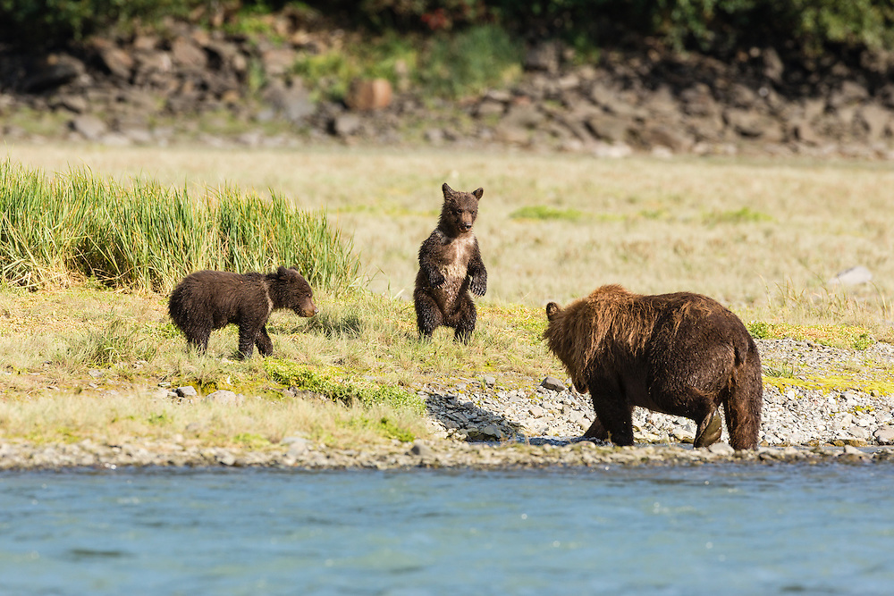 Brown bear (Ursus arctos) cub stands on hind legs as its mother fishes for salmon in Geographic Creek at Geographic Harbor in Katmai National Park in Southwestern Alaska. Summer. Afternoon.
