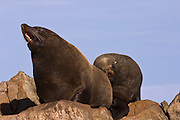 South American Fur Seals or Falkland Islands Fur Seal (Arctocephalus australis australis) BULL<br /> A sub-species of South American Fur Seal. The males are about 3 times larger than the females. The females are also slimmer and generally lighter in colour. They breed in about 10 sites in the islands, mainly in nw and sw and usually on rocky slopes with deep water approaches. They form large colonies of 1000 - 3000. The breeding season begins in early November when the adult males establish territories. The females then arrive a few days before giving birth to one pup. They feed in groups at sea on Lobster Krill, squid and fish. <br /> Steeple Jason. FALKLAND ISLANDS.<br /> The Jasons (Grand and Steeple) are a chain of islands 40 miles (64km) north and west off West Falkland towards Patagonia. Steeple is 6 by 1 mile (10Km by 1.6km) in size. From the coast the land rises steeply to a rocky ridge running along the length. <br /> This island has the largest Black-browed Albatross colony in the world with 113,000. The island is owned by WCS (Wildlife Conservation Society)