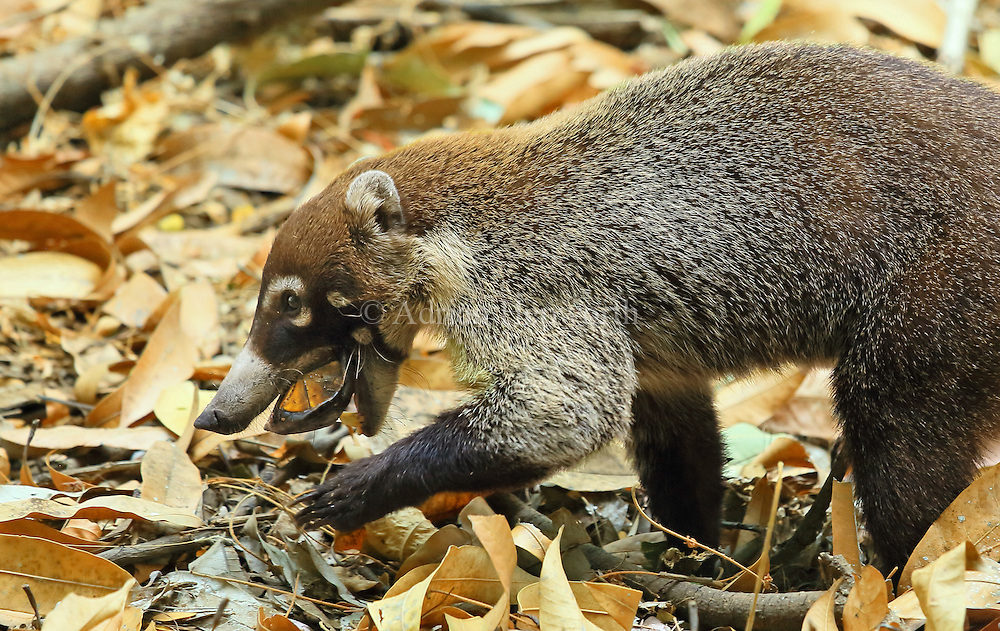 White-nosed coati (Nasua narica) trying to break open a live scorpion mud turtle (Kinosternon scorpioides). Tropical dry forest, Palo Verde National Park, Guanacaste, Costa Rica.