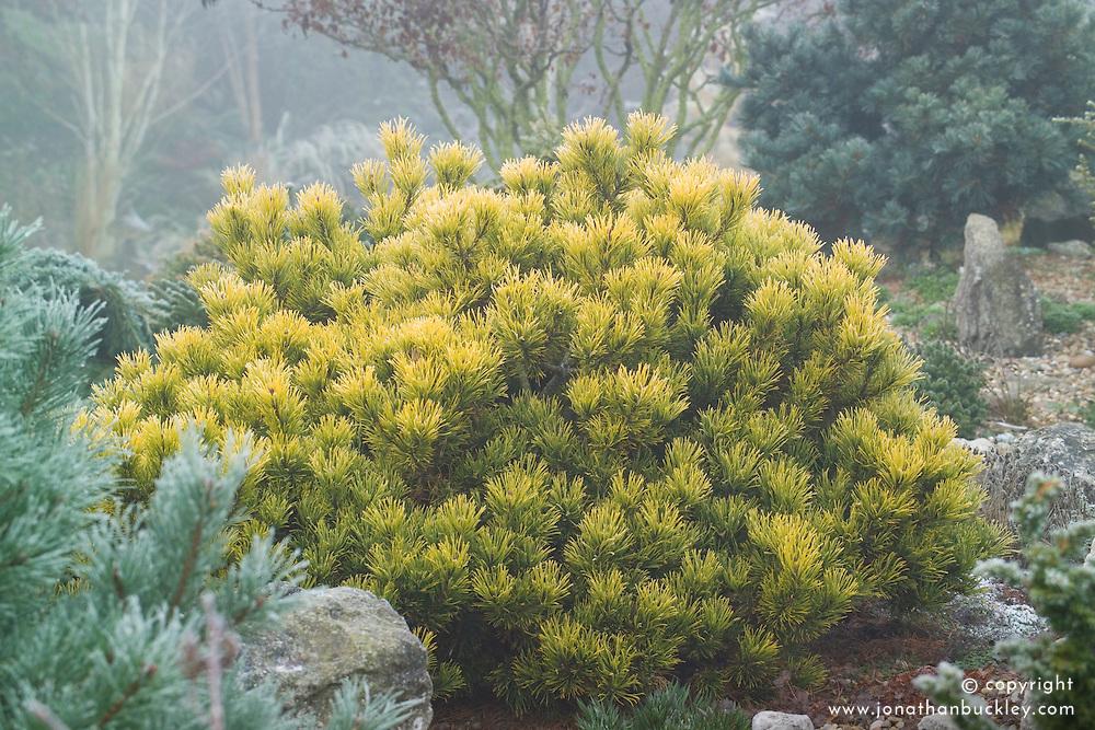 Pinus mugo 'Carsten's Wintergold' - Dwarf mountain pine
