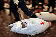 "An employee at the world's biggest fish market in Tsukiji, Tokyo drags off large tuna during auctioning at the market. More than 2,300 tons of fish -- about one-third of the total consumed in Japan -- passes through Tsukiji each day and the market offers more than 450 varieties of marine products. The market, which dates back almost 75 years, is slated to move to a high-tech site on a man-made island in Toyosu, which is well-documented as being contaminated with benizine. Not that Tsukiji is much better off -- many buildings in the aging site are stuffed with asbestos. ""Choose your poison,"" says one Tsukiji official. The new site, which the government plans to be readied by 2012, will be significantly larger, with more room for off-loading and for sellers to display their goods. The current location, says one official, is too cramped and collisions between motorised carts and pedestrians means accidents occur almost daily. Meanwhile, with fish sales down, it is becoming more difficult to justify Tsukiji's prime location and property developers are keeping a close watch on Tsukiji land, which is just a few blocks from the ritzy Ginza district of Tokyo, where per-meter land prices are among the highest in the world...The move to the new Toyosu location, meanwhile, has been at the center of heated debate -- clean-up operations alone are estimated to cost ¨?67 billion (around US$660 million), with a further ¨?450 billion to build a new marketplace. Big wholesalers favour the move, but the 1,600-plus merchants mostly are against it. Yoshiharu Kikuraku, a Tsukiji storeowner who began working at the market 60 years ago, expresses bewilderment at the plans, saying that the name Tsukiji itself has become synonymous with the world's best and most eclectic selection of fish. ""This place has a long tradition. Why break it and start from scratch all over again?"" he says."