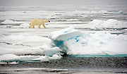Polar bear in the pack ice of 81,5 degrees north off Spitsbergen, Svalbard in July 2012.