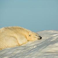 Canada, Nunavut Territory, White Island, Polar Bear (Ursus maritimus) sleeping on sea ice in Frozen Strait along Hudson Bay
