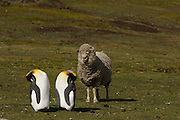 King Penguins (Aptenodytes p. patagonica) and sheep. Their colony is on a working sheep farm.<br /> Volunteer Point, Johnson's Harbour, East Falkland Island. FALKLAND ISLANDS.<br /> RANGE: Circumpolar, breeding on Subantarctic Islands. Extensive colonies found in South Georgia, Marion, Crozet, Kerguelen and Macquarie Islands. The Falklands represent its most northerly range. They are highly gregarious which probably accounts for it common association with colonies of Gentoo Penguins.<br /> King Penguins are the largest and most colourful penguins found in the Falklands. They have a unique breeding cycle. The incubation of one egg lasts for 54-55 days and chick rearing 11-12 months. As the complete cycle takes more than one year a pair will generally only breed twice in three years.