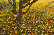 Autumn leaves and apple tree on lawn<br />Winnipeg<br />Manitoba<br />Canada