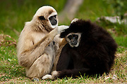 A pair of captive White Handed Gibbons, Hylobates lar, maintain the grooming standard at the Santa Barbara Zoo, Wednesday, September 8, 2010.  This photograph was taken with a  tripod and with natural light.  (Photo by Aaron Schmidt © 2010)