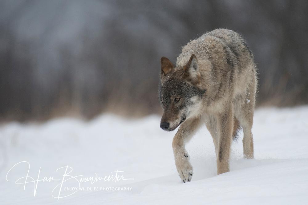 Wilde wolf in sneeuw