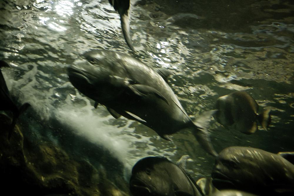 """Des mérous en pleine course dans le centre océanographique de Gulangyu, """"l'ile des vagues battantes"""""""