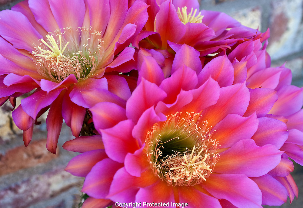 Argentine Giant Cactus have elegant,beautiful,showy and fragrant. Blooms last only one day in the hot sun.