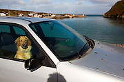 Dog waiting for the car ferry at the Harbour, Cape Clear island, off West Cork, ireland. Check out that grimace - he's clearly not impressed with either me, or the ferry situation.