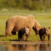 Alaskan Brown Bear (Ursus middendorffi) Mother with young cubs in grass near water. Katmai National Park. Alaska. Spring...Alaskan Brown Bear (Ursus middendorffi) Mother with young cubs in grass near water. Katmai National Park. Alaska. Spring.